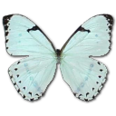 иконки Mint Morpho, бабочка, butterfly,