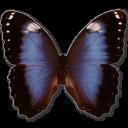 иконки Morpho Achilleana, бабочка, butterfly,