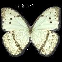 иконки Morpho Catenarius Underside, бабочка, butterfly,