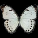 иконки Morpho Luna Male, бабочка, butterfly,