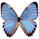 иконки Morpho Partis Thamyris, бабочка, butterfly,