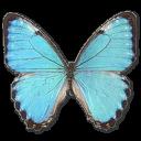 иконки Morpho Portis Male, бабочка, butterfly,