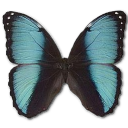 иконки Morpho Pseudogamedes, бабочка, butterfly,