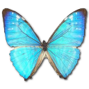 иконки  Morpho Zephyritis Male, бабочка, butterfly,