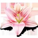 иконка lily, лилия, цветок, цветы,